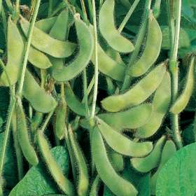 genetically modified soybeans to produce high oleic acid